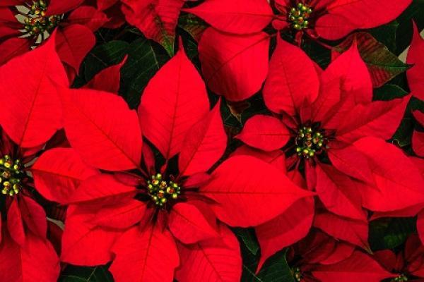 Origen de la Flor de Nochebuena